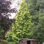 Metasequoia glyptostroboides Goldrush 3
