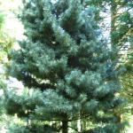 Pinus koraiensis Silverray 3