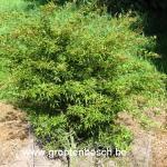 Acer palmatum Kamagata
