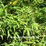 Acer palmatum Kamagata 2