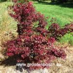 Acer palmatum Vens red